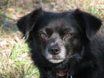 Cão da zibelina imagem de stock royalty free