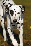Cão Dalmatian Fotos de Stock