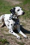 Cão Dalmatian Imagem de Stock Royalty Free