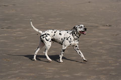 Cão Dalmatian imagem de stock
