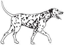 Cão Dalmatian Fotografia de Stock
