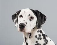 Cão Dalmatian Foto de Stock Royalty Free