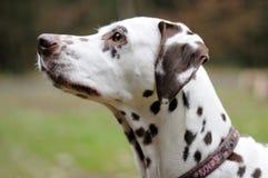 Cão Dalmatian foto de stock