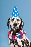 Cão Dalmatian como o animal do aniversário no fundo azul Fotos de Stock