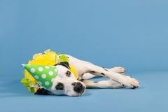 Cão Dalmatian como o animal do aniversário no fundo azul Imagens de Stock Royalty Free