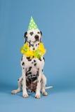 Cão Dalmatian como o animal do aniversário no fundo azul Imagens de Stock