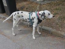 Cão Dalmatian masculino Foto de Stock