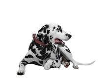 Cão Dalmatian que encontra-se e que olha lateralmente foto de stock royalty free