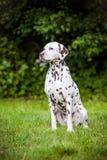 Cão Dalmatian que senta-se fora Fotos de Stock Royalty Free