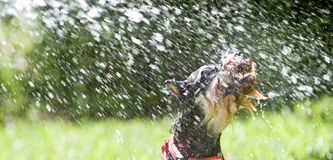 Cão de água fotografia de stock royalty free