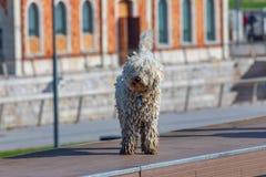 Cão de água espanhol cantábrico - raça do Barbet foreground fotografia de stock royalty free