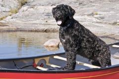 Cão de água português fotos de stock royalty free