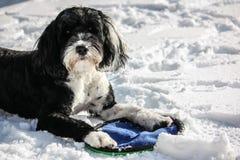 Cão de água português na neve Fotos de Stock Royalty Free