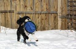 Cão de água português no jogo na neve Fotografia de Stock Royalty Free