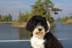 Cão de água português preto e branco com opinião do lago no backg Fotografia de Stock Royalty Free
