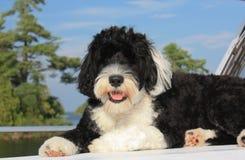 Cão de água português preto e branco que lounging em um barco no l Fotos de Stock Royalty Free