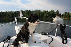 Cão de água português pronto para uma aventura Imagens de Stock