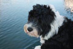 Cão de água português que olha a água Foto de Stock