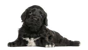 Cão de água português (6 semanas velho) foto de stock