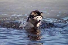 Cão de água que tem o divertimento imagem de stock