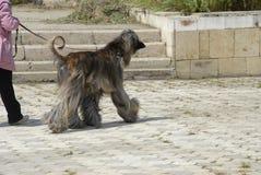 Cão de Afgan Fotos de Stock Royalty Free