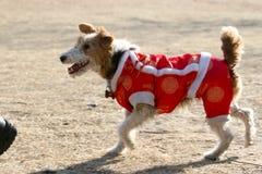 Cão de Airedale Terrier Foto de Stock Royalty Free