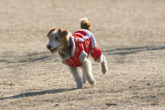 Cão de Airedale Terrier Fotos de Stock