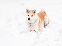 Cão de Akita Imagem de Stock Royalty Free