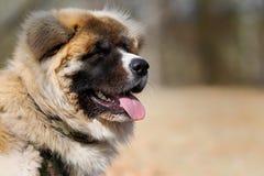 Cão de Akita Imagens de Stock
