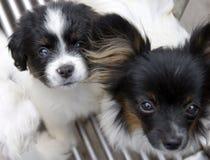Cão de animal de estimação Imagens de Stock