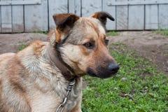 Cão de animal de estimação Imagem de Stock Royalty Free
