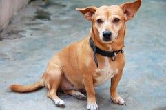 Cão de animal de estimação cândido Foto de Stock