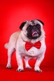 Cão de animal de estimação engraçado fotos de stock
