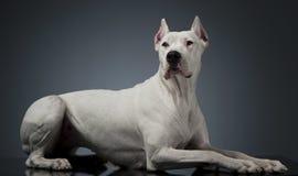 Cão de Argentin que encontra-se na tabela brilhante do estúdio Imagens de Stock