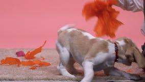 Cão de arrelia do menino com pompon do papel, criança que tem o divertimento com animal de estimação, programa da adoção vídeos de arquivo