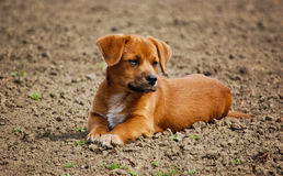 Cão de assento Imagens de Stock Royalty Free