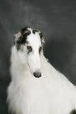 Cão de assento Imagem de Stock Royalty Free