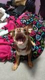 Cão de ataque Imagem de Stock Royalty Free