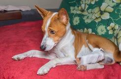 Cão de Basenji com os pés traseiros enfaixados quebrados que descansam em um sofá Imagens de Stock Royalty Free