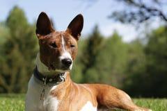 Cão de Basenji na grama exterior Foto de Stock Royalty Free
