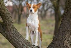 Cão de Basenji que está em um ramo de árvore Imagens de Stock Royalty Free
