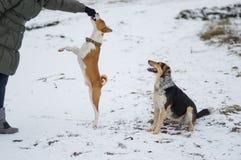 Cão de Basenji que salta acima para para obter algum alimento da mão mestra do ` s Imagens de Stock Royalty Free