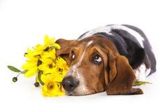 Cão de Basset Fotografia de Stock
