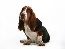 Cão de Basset Foto de Stock