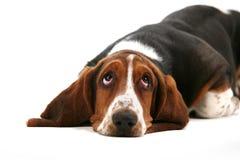 Cão de Basset Imagens de Stock Royalty Free
