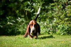Cão de Basset Imagens de Stock