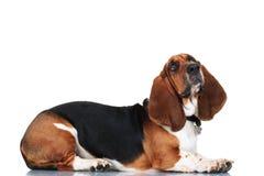 Cão de basset curioso que encontra-se para baixo Imagem de Stock Royalty Free