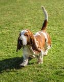 Cão de Basset Hound Foto de Stock