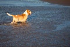 Cão de Basset pelo mar Foto de Stock