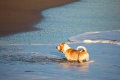 Cão de Basset pelo mar Imagem de Stock